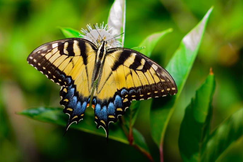 东部glaucus papilio swallowtail老虎 库存照片
