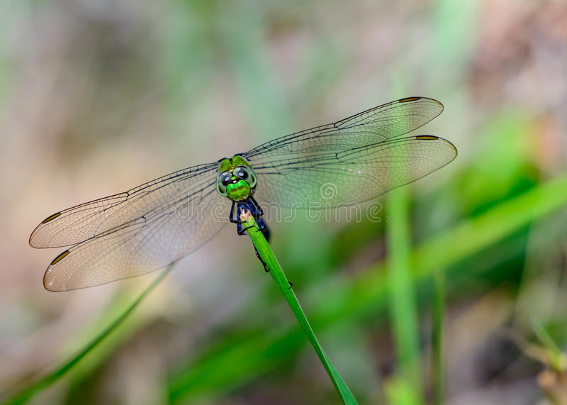 东部Pondhawk蜻蜓Erythemis simplicicollis 免版税库存图片