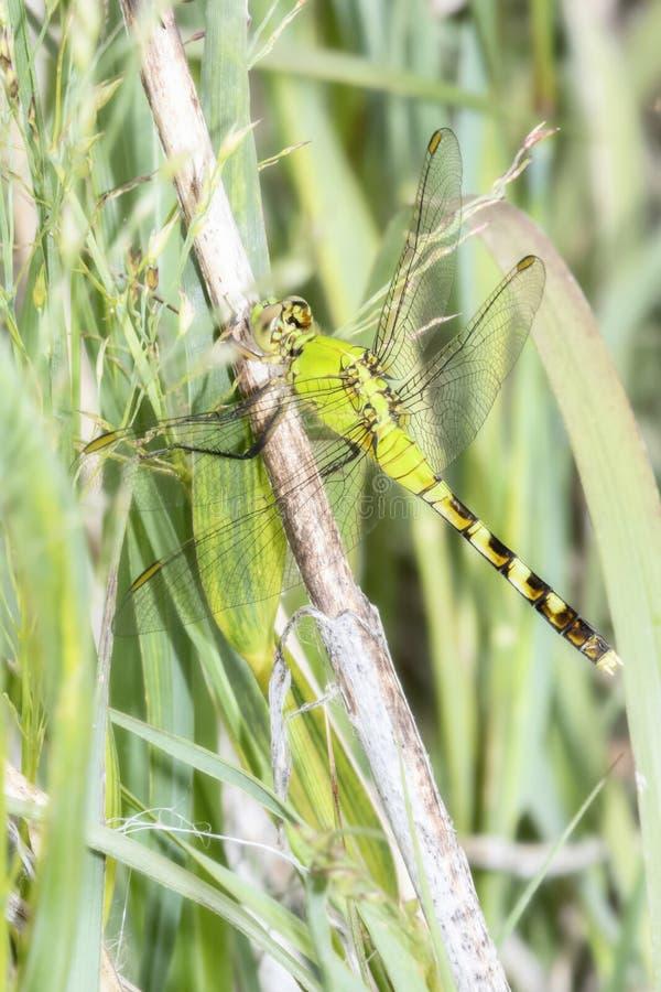东部Pondhawk Erythemis simplicicollis蜻蜓在分支栖息 免版税库存图片