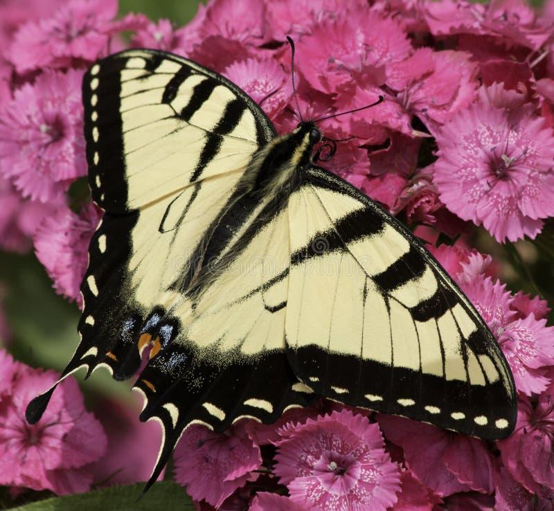 东部swallowtail老虎 库存照片