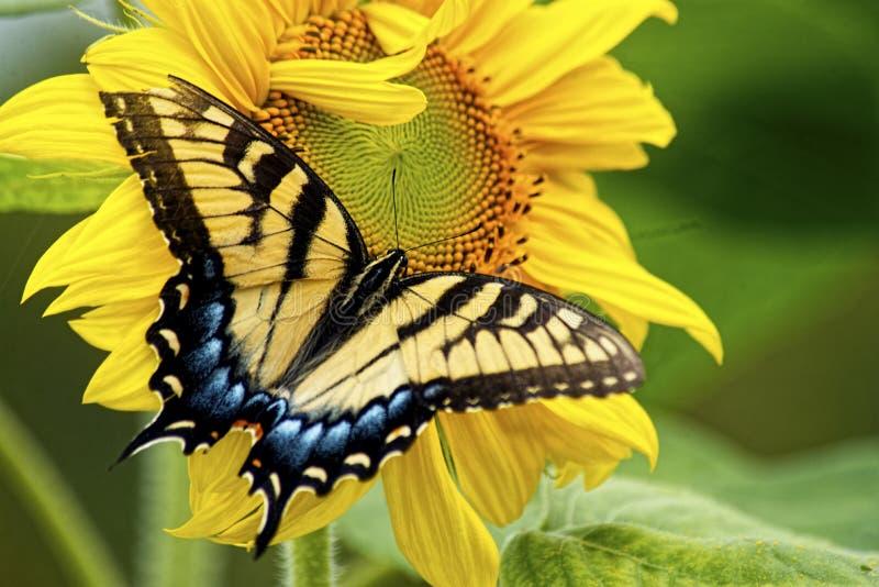 东部Swallowtail蝴蝶在黄色向日葵绽放工作。 免版税库存照片