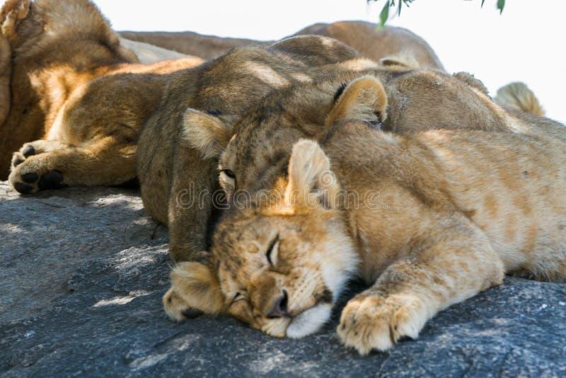 东非幼狮豹属利奥melanochaita睡觉 库存照片