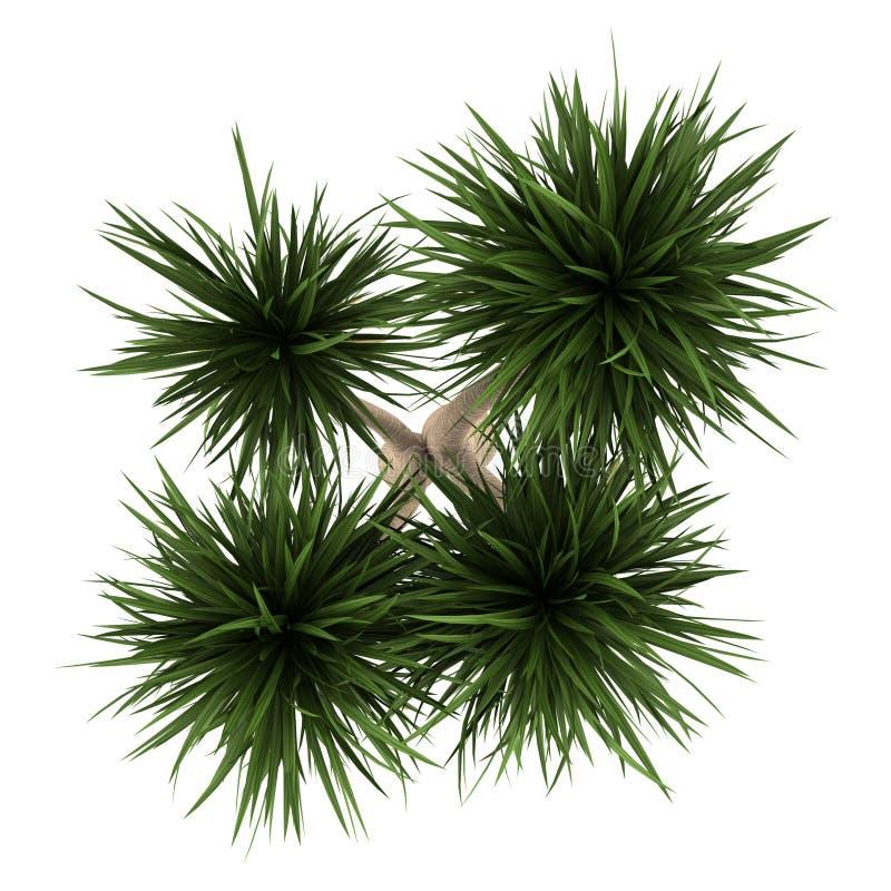 丝兰在白色查出的棕榈树顶视图  皇族释放例证
