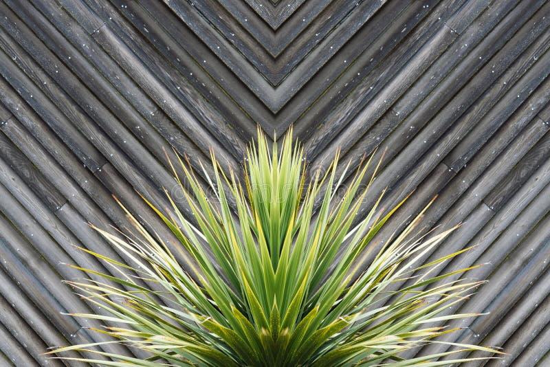 丝兰或仙人掌与木头对角板条的植物摘要在t的 免版税图库摄影