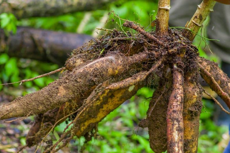 丝兰植物根,在亚马逊森林里面在Cuyabeno,厄瓜多尔 免版税图库摄影