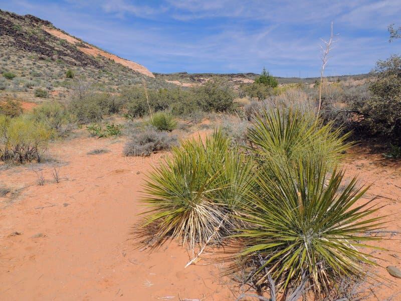 丝兰植物,在圣乔治犹他附近在南西部沙漠美国 免版税库存图片