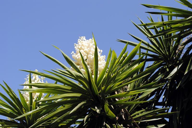 丝兰aloifolia 免版税库存照片
