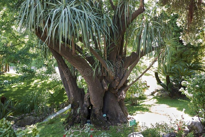 丝兰gigantea植物 库存图片