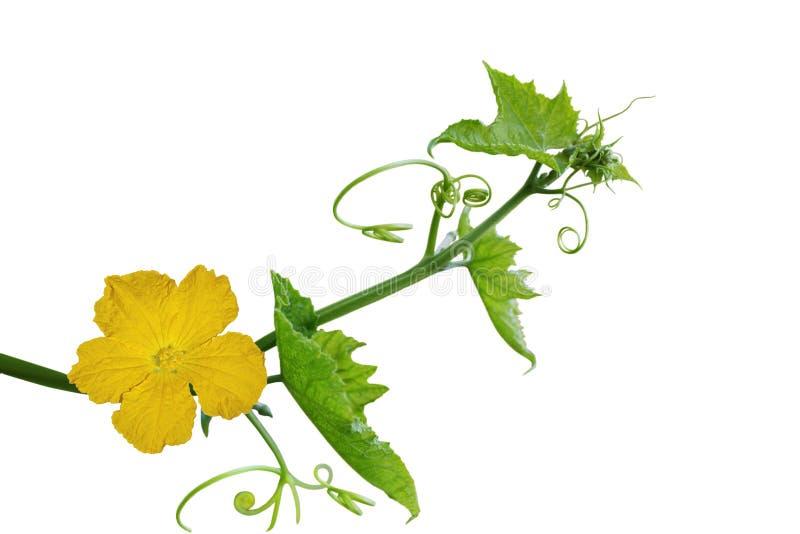 丝瓜络花和叶子 免版税库存照片