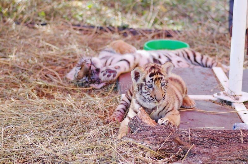 两一点婴孩孟加拉老虎睡觉 免版税库存图片