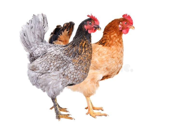 两一起站立的鸡 免版税库存图片