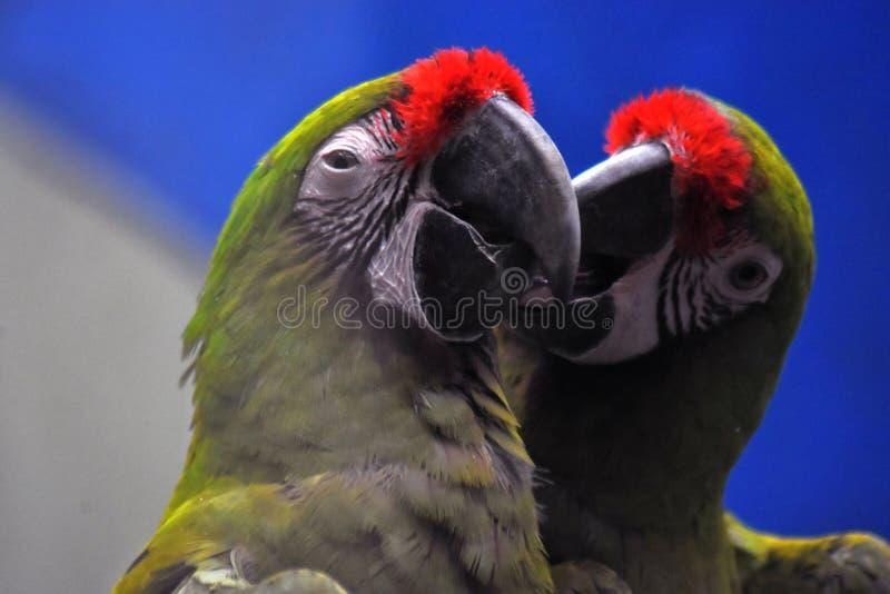 两三只五颜六色的鹦鹉 图库摄影
