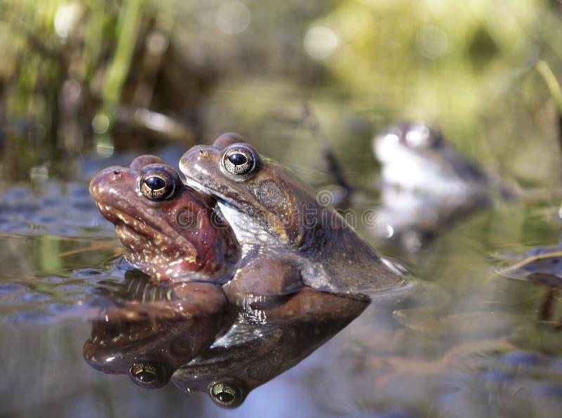 两三只棕色青蛙在春天水坑联接 免版税库存图片