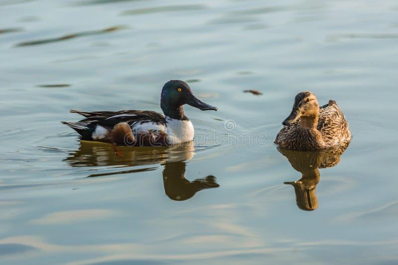 两三只水禽、野生琵嘴鸭和野鸭鸭子 免版税库存图片