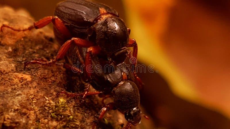 两三只甲虫 库存照片