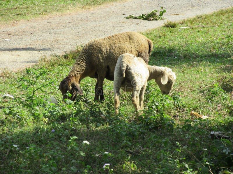 两三只绵羊 库存图片