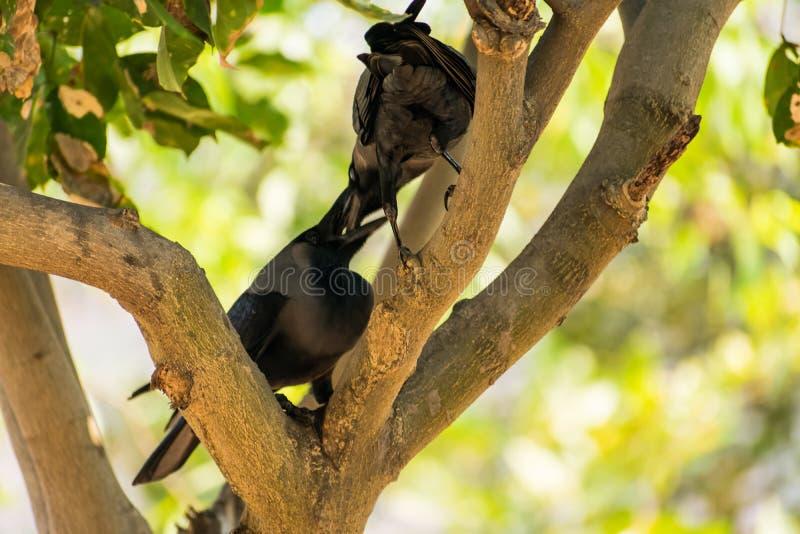 两三在树枝的乌鸦就座&一起爱在公园 免版税库存图片