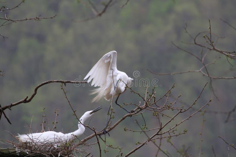 两三白鹭 免版税图库摄影