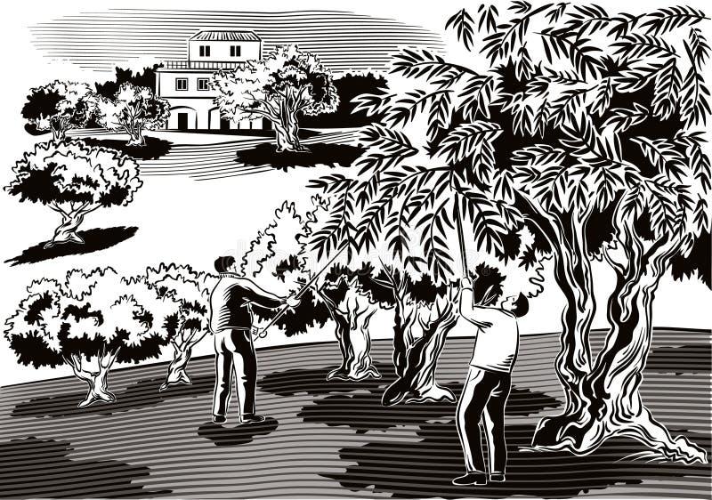 两个人直接地从树收集橄榄 库存例证