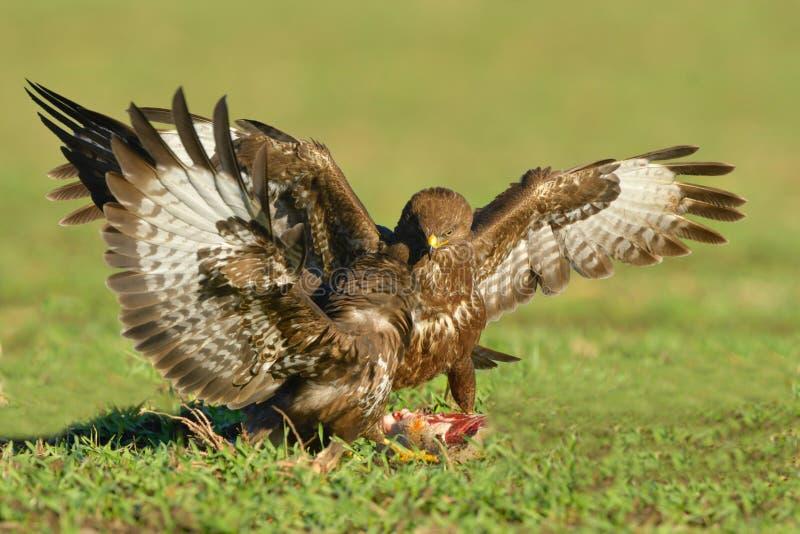 两个共同的肉食& x28; 鵟鸟buteo& x29;战斗 库存图片