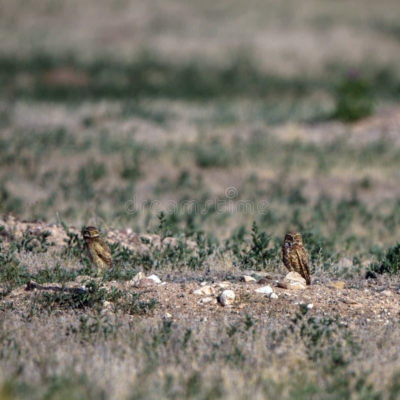 两个在他们的巢洞穴之外的挖洞的猫头鹰婴孩立场在南科罗拉多 免版税库存照片