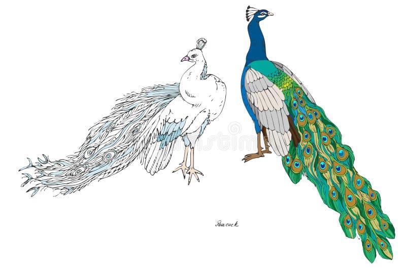 两个孔雀,平原和白色,颜色传染媒介例证 热带鸟手图画  向量例证