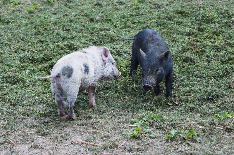 两个小小猪演奏前面的猪桃红色和黑色 库存照片