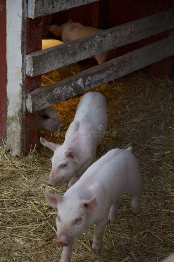 两个小猪在他们的笔离开他们温暖的Heatlamp使用 免版税库存照片