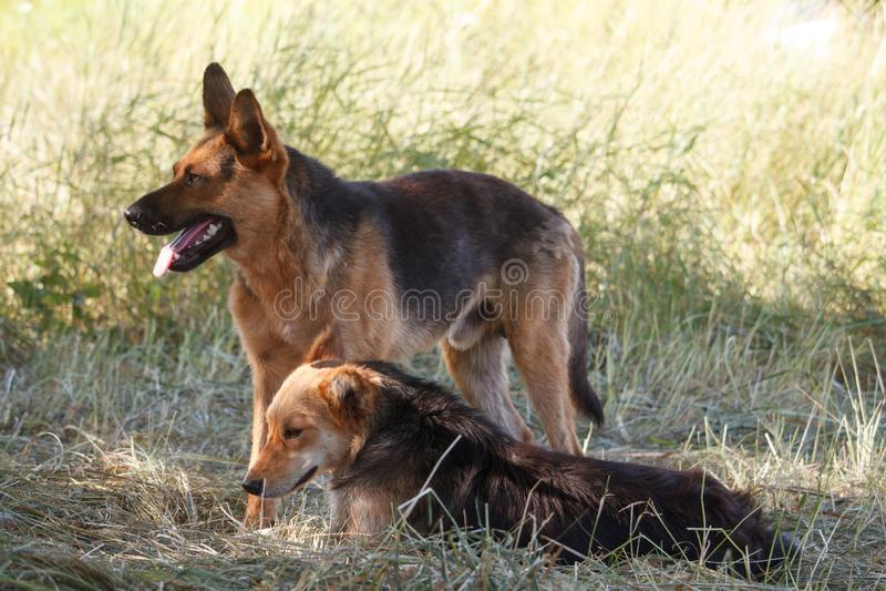 两个无家可归的大狗立场画象在退色的高草和神色的  免版税库存照片