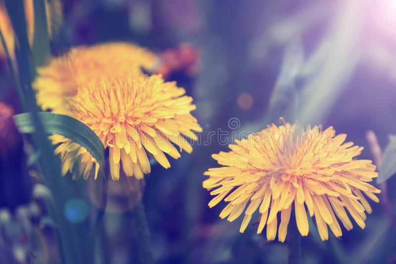 两个明亮的黄色开花的蒲公英特写镜头视图在被弄脏的背景的与美妙的淡紫色过滤器和阳光 库存照片