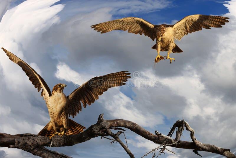 两个杂种gyrfalcon和旅游猎鹰在分支 免版税库存照片