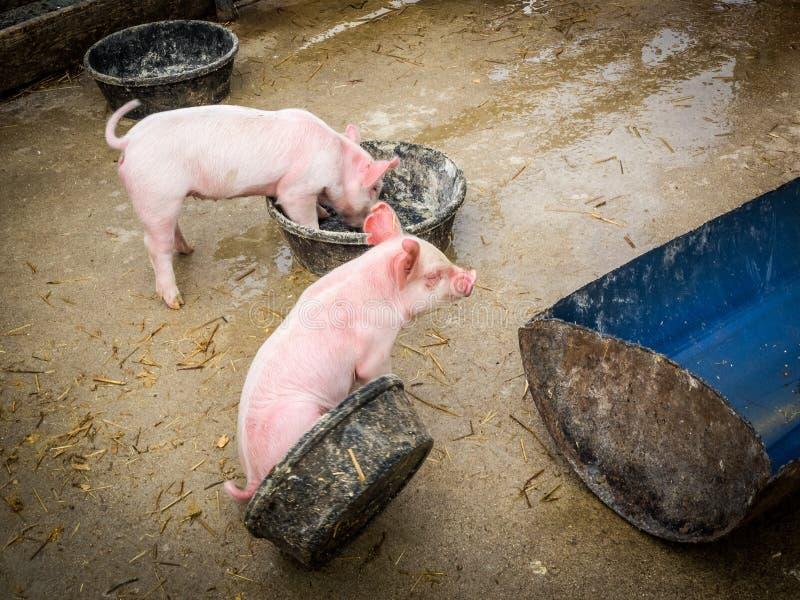 两个桃红色小猪 免版税库存图片