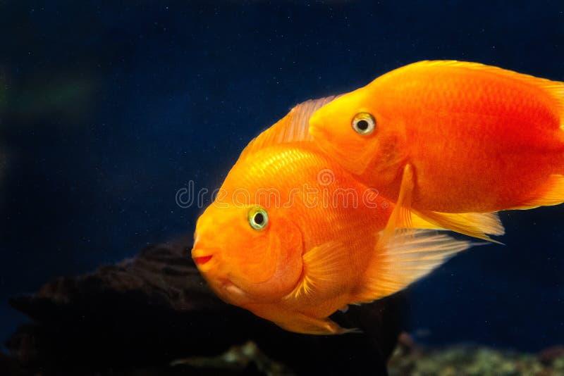 两个橙色金鱼,koi鱼在深蓝水中 免版税图库摄影