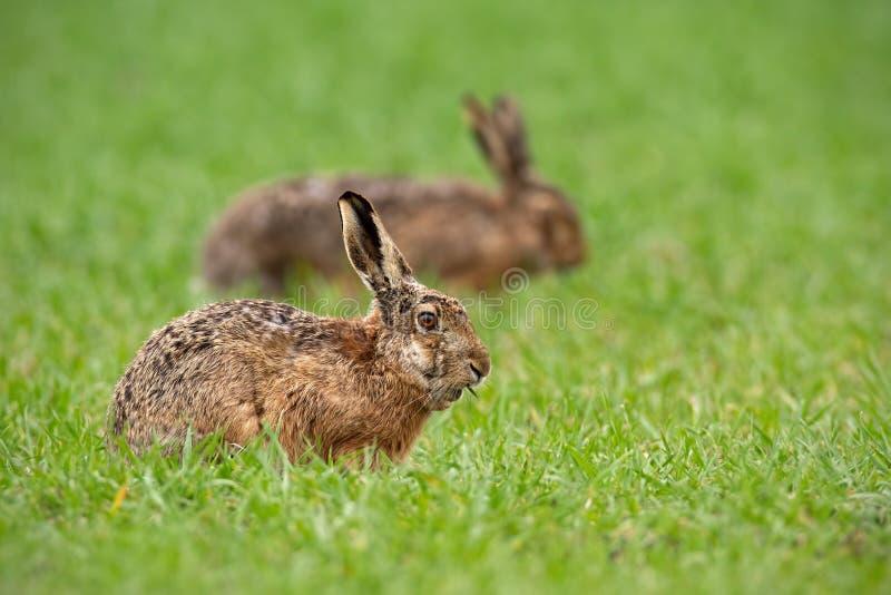 两个欧洲棕色野兔天兔座europaeus在夏天有绿色被弄脏的背景 免版税库存照片
