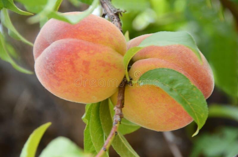 两个水多的成熟桃子特写镜头为收获准备 免版税图库摄影