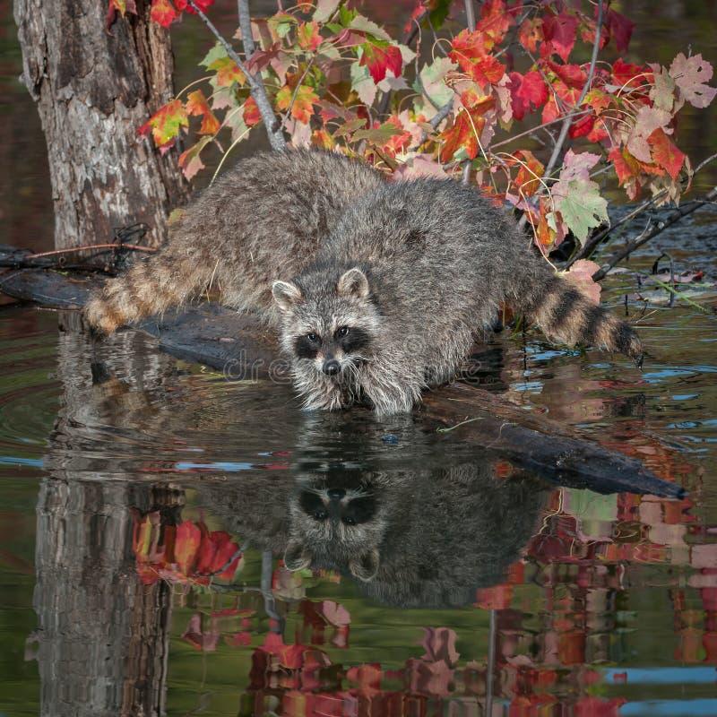 两个浣熊& x28; 浣熊属lotor& x29;深深手肘在水中 免版税图库摄影