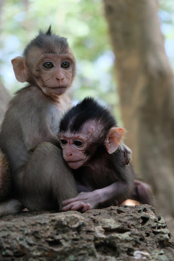 两个猴子婴孩在吴哥,柬埔寨 库存图片