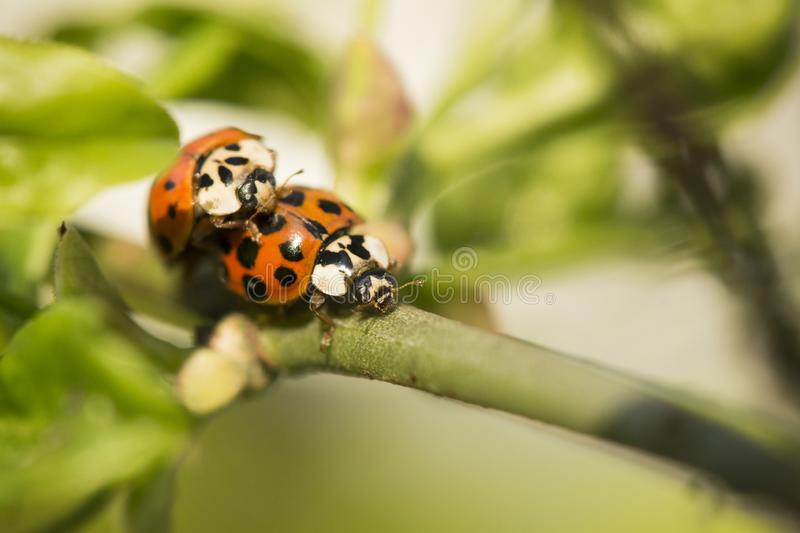 两个瓢虫宏观细节在枝杈的 免版税图库摄影