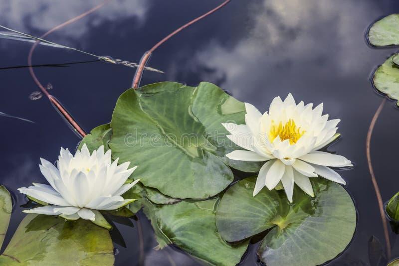 两个百合或若虫在池塘 库存照片