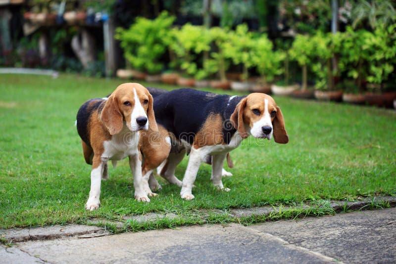 欧美性爱小7_两个纯血统的动物做爱的小猎犬狗在庭院里