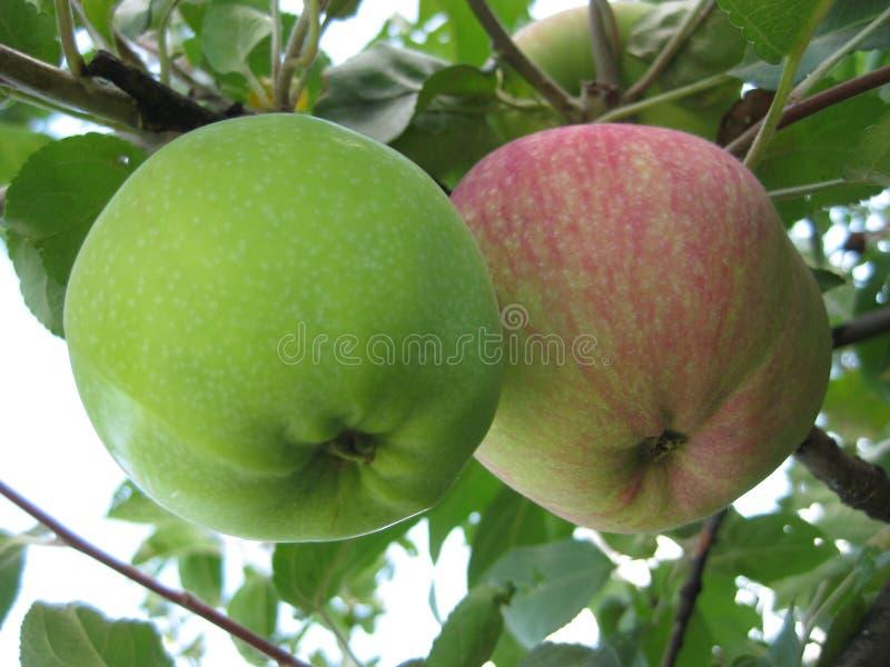 两个苹果,一绿色,另一红色,垂悬在一个分支 库存照片