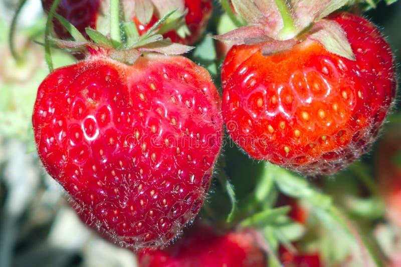 两个草莓调遣红色有机果子自然糖点心 免版税库存图片