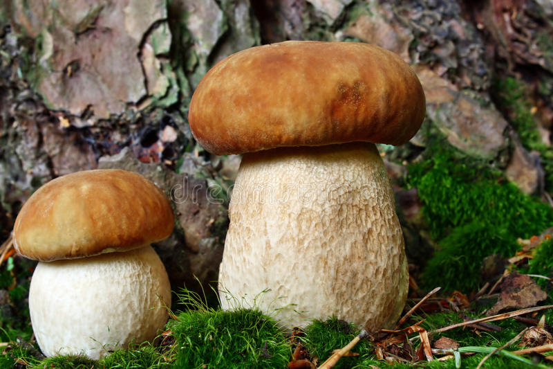 两个蘑菇牛肝菌蕈类 图库摄影