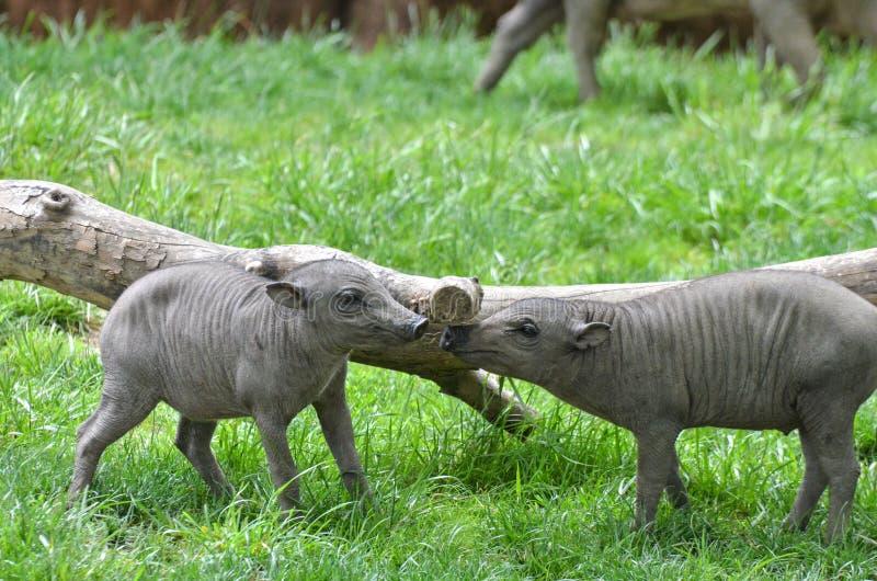 两个野猪小猪 库存照片