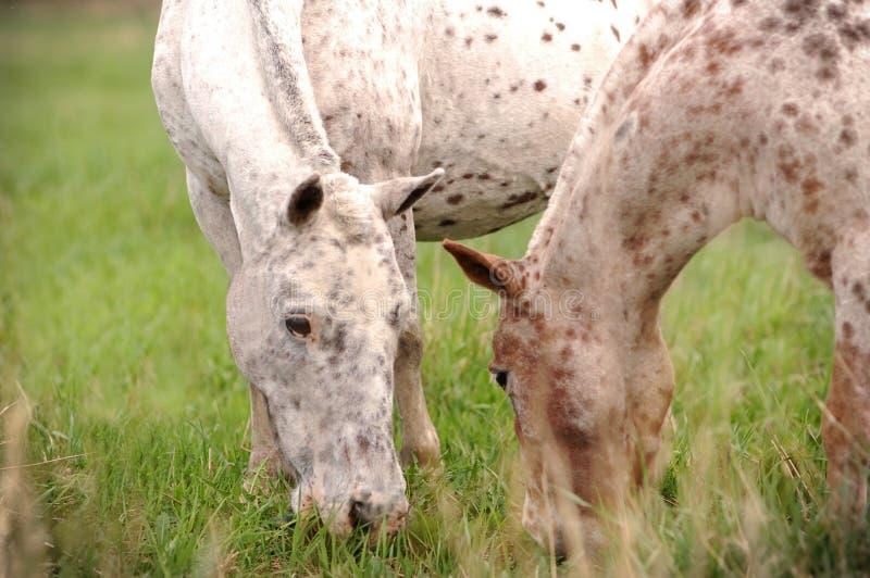 两个阿帕卢萨马小马 免版税库存照片