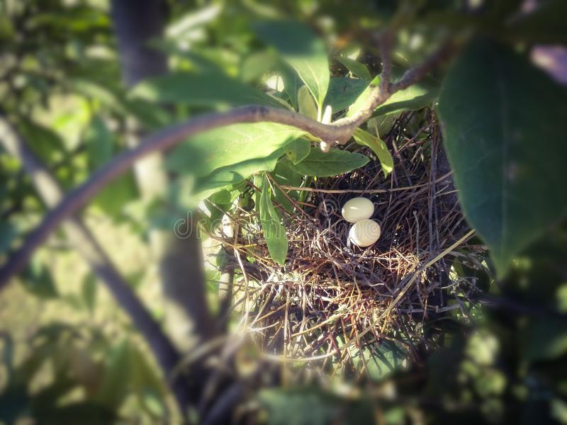 两个鸠鸡蛋 图库摄影