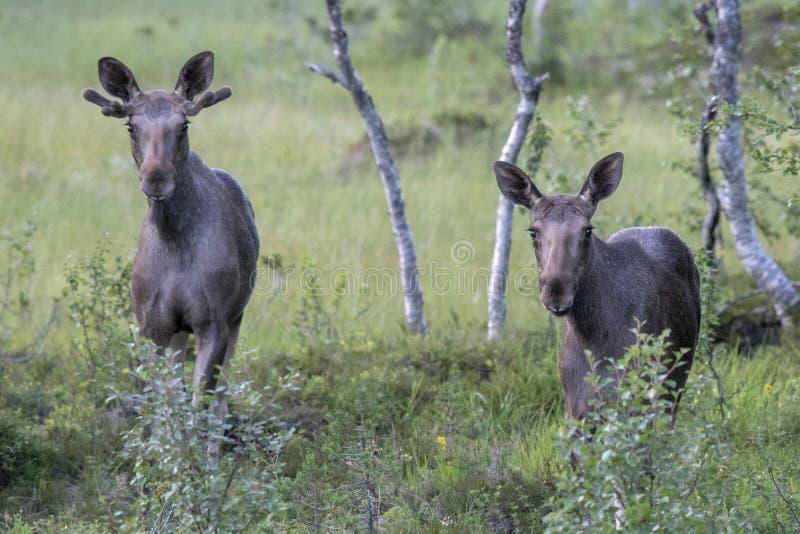 两个麋在森林里 免版税库存照片
