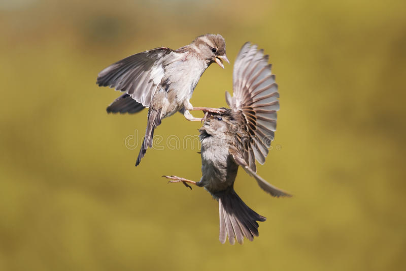 两个年轻人麻雀举起战斗 库存图片