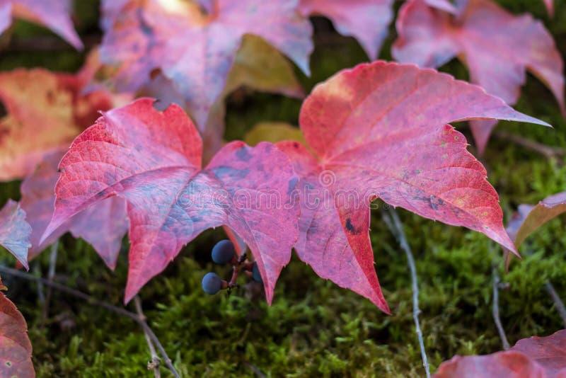 两五颜六色的红色狂放的葡萄留下特写镜头 免版税库存图片