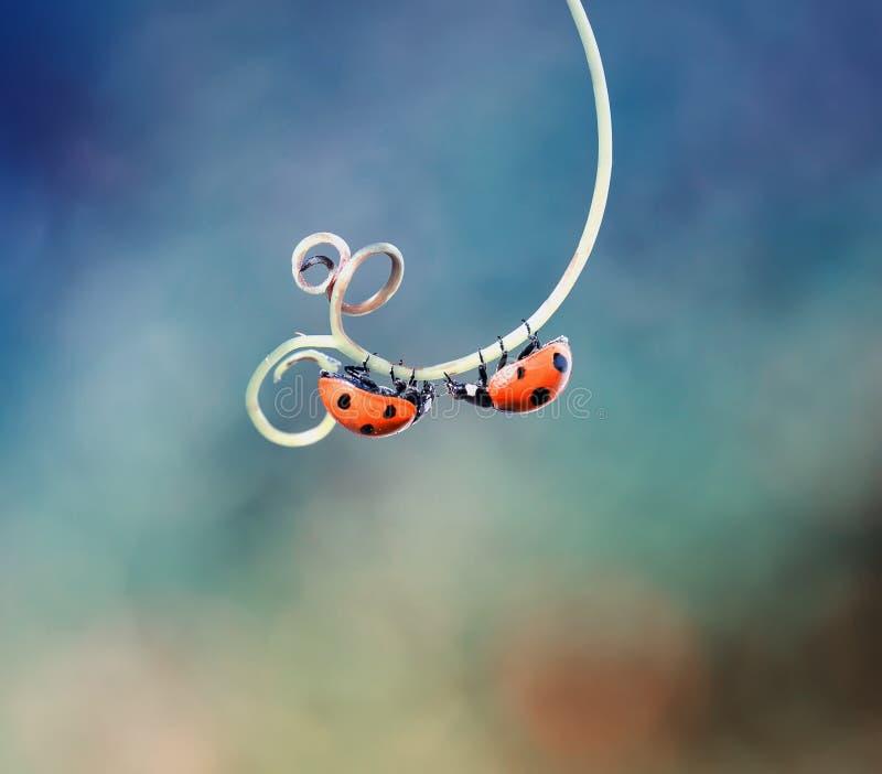 两今后爬行在绕枝杈的美丽的瓢虫往 免版税库存照片